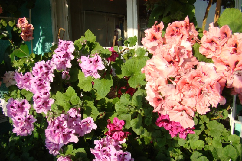 Flori de apartament-Îngrijire,înmulţire şi exponate Flori-16