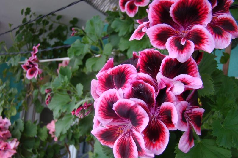 Flori de apartament-Îngrijire,înmulţire şi exponate Flori-17