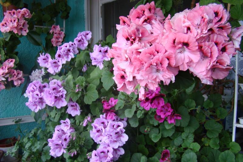 Flori de apartament-Îngrijire,înmulţire şi exponate Flori-18