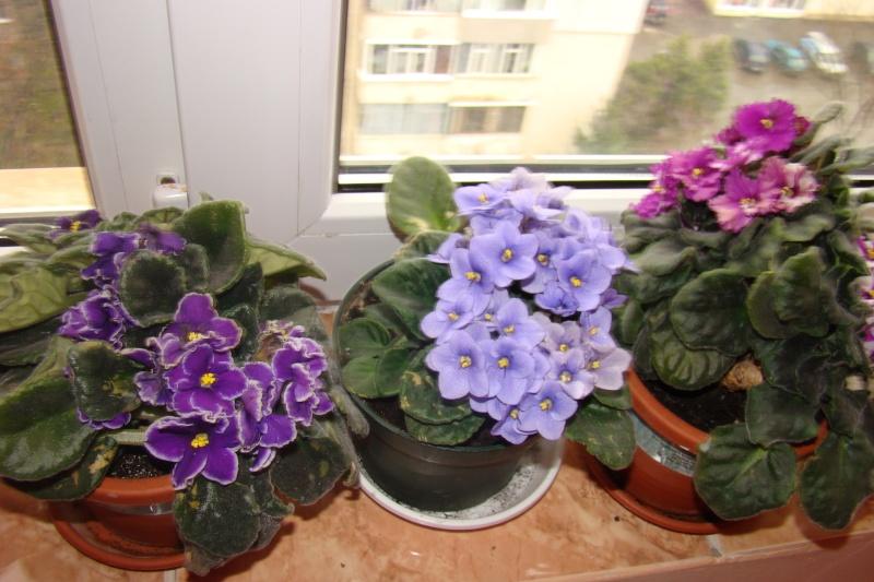Flori de apartament-Îngrijire,înmulţire şi exponate Flori-19