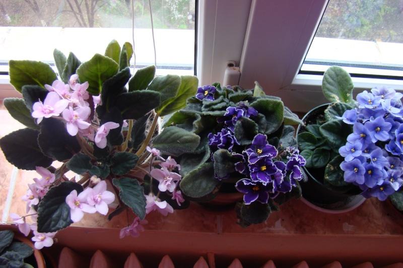 Flori de apartament-Îngrijire,înmulţire şi exponate Flori-20