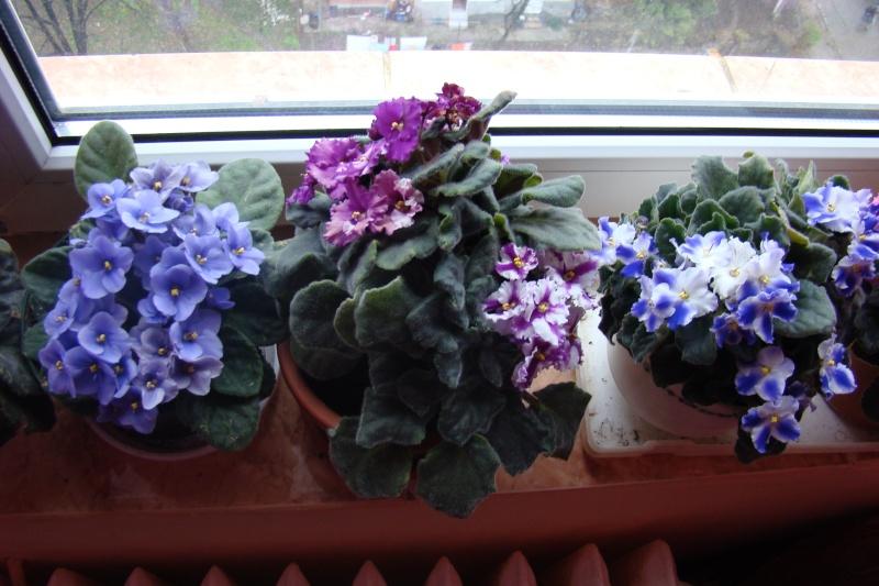 Flori de apartament-Îngrijire,înmulţire şi exponate Flori-21