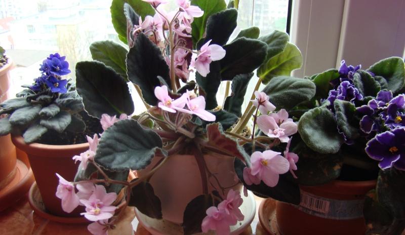 Flori de apartament-Îngrijire,înmulţire şi exponate Flori-23