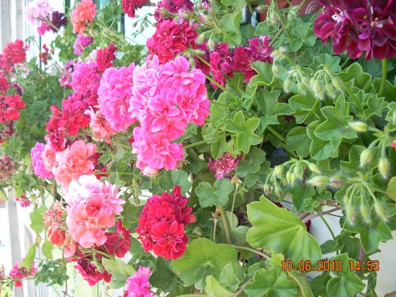Flori de apartament-Îngrijire,înmulţire şi exponate Flori_13
