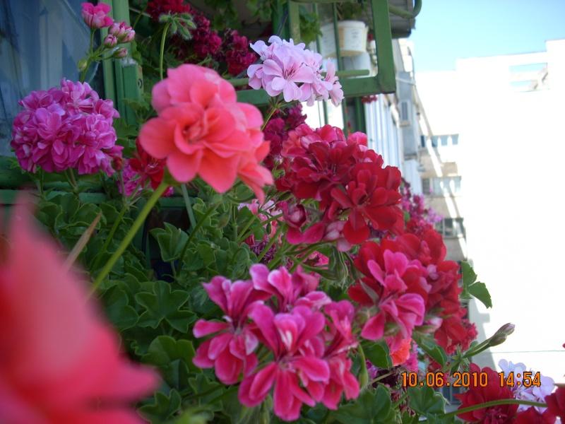 Flori de apartament-Îngrijire,înmulţire şi exponate Flori_14