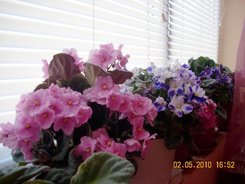 Flori de apartament-Îngrijire,înmulţire şi exponate Flori_22