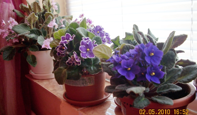Flori de apartament-Îngrijire,înmulţire şi exponate Flori_23