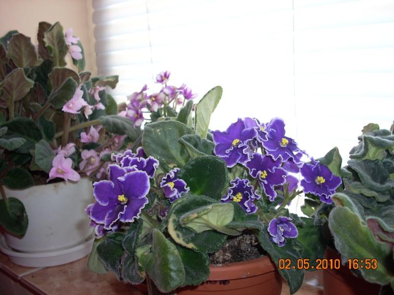 Flori de apartament-Îngrijire,înmulţire şi exponate Flori_25