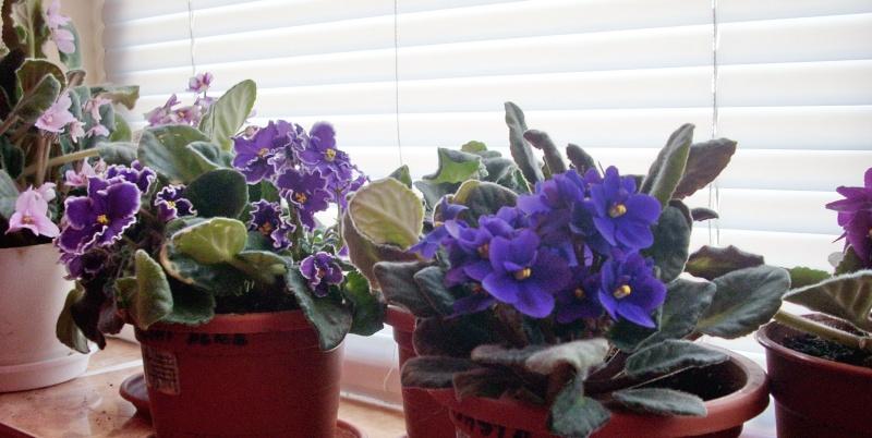 Flori de apartament-Îngrijire,înmulţire şi exponate Flori_28