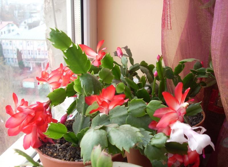 Flori de apartament-Îngrijire,înmulţire şi exponate Flori_29