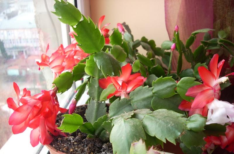 Flori de apartament-Îngrijire,înmulţire şi exponate Flori_30