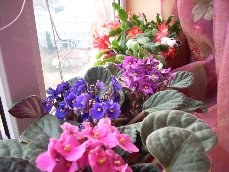 Flori de apartament-Îngrijire,înmulţire şi exponate Flori_31