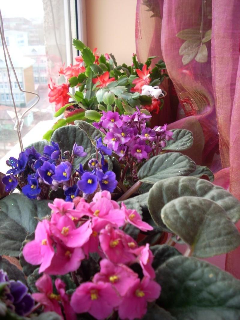 Flori de apartament-Îngrijire,înmulţire şi exponate Flori_32