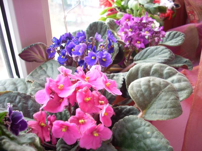 Flori de apartament-Îngrijire,înmulţire şi exponate Flori_33