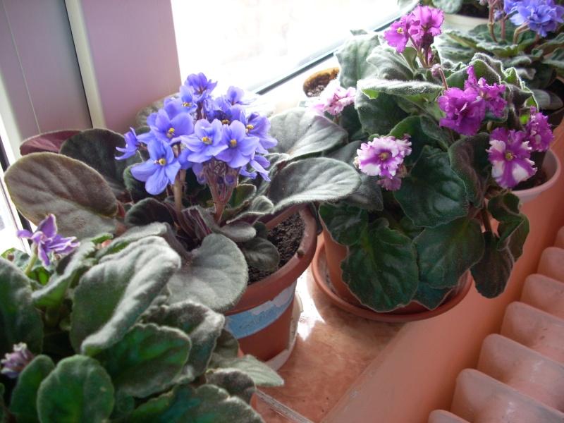 Flori de apartament-Îngrijire,înmulţire şi exponate Flori_34