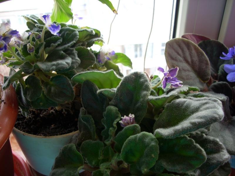 Flori de apartament-Îngrijire,înmulţire şi exponate Flori_35