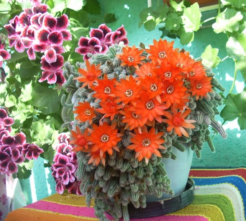 Flori de apartament-Îngrijire,înmulţire şi exponate Flori_36