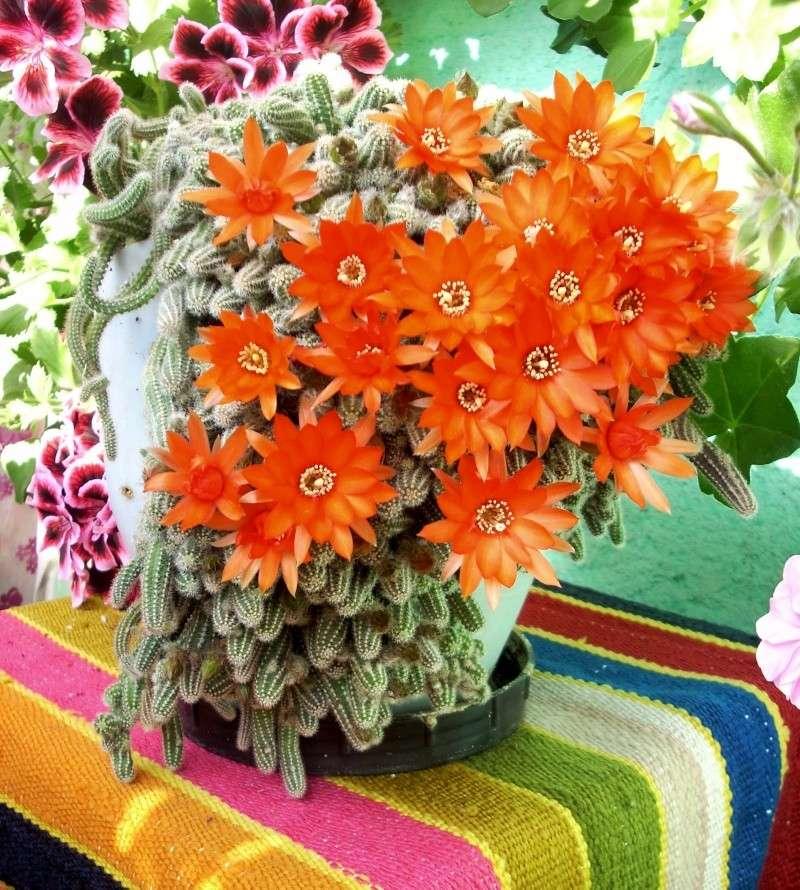 Flori de apartament-Îngrijire,înmulţire şi exponate Flori_37