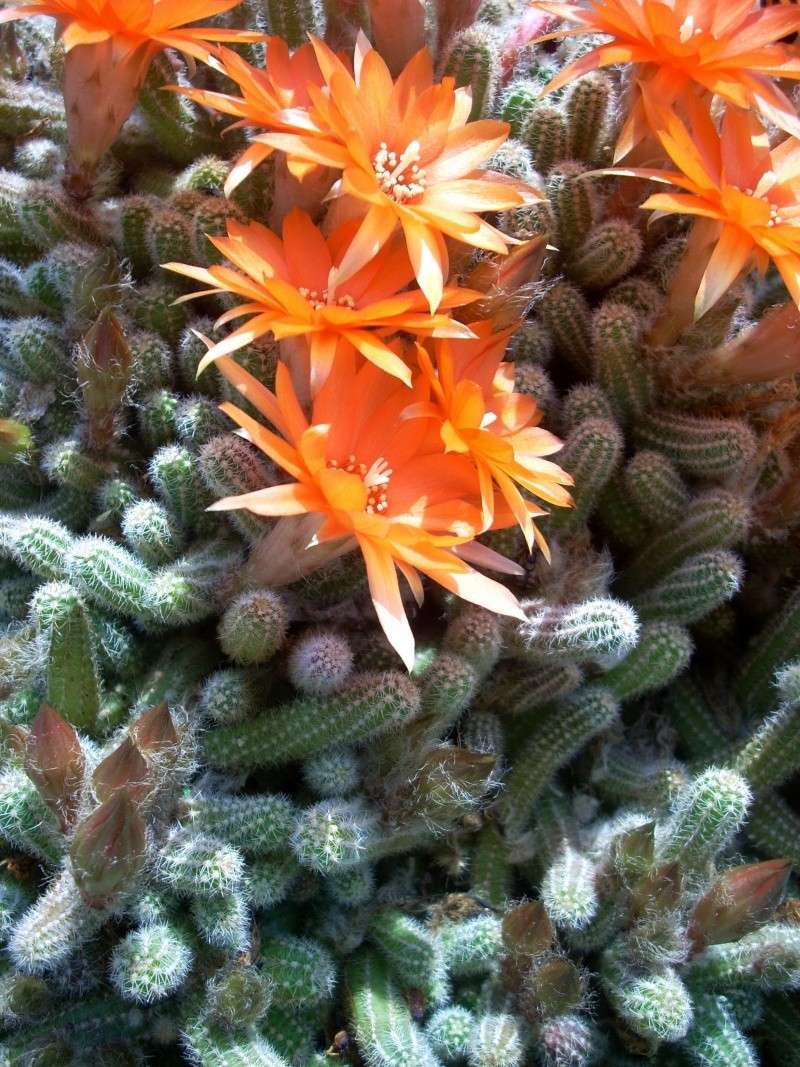 Flori de apartament-Îngrijire,înmulţire şi exponate Flori_38