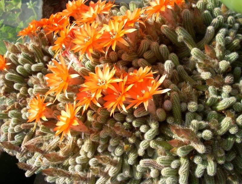 Flori de apartament-Îngrijire,înmulţire şi exponate Flori_39