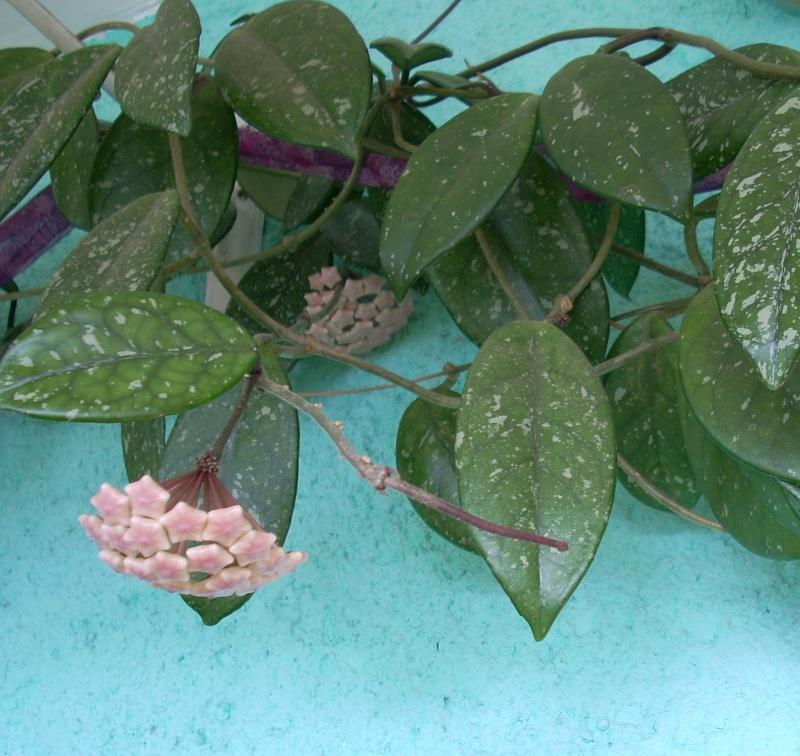 Flori de apartament-Îngrijire,înmulţire şi exponate Lacrim12
