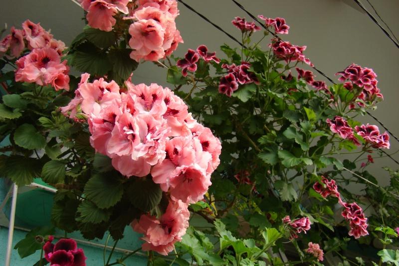Flori de apartament-Îngrijire,înmulţire şi exponate Muscat10