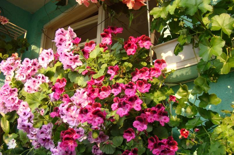 Flori de apartament-Îngrijire,înmulţire şi exponate Muscat11