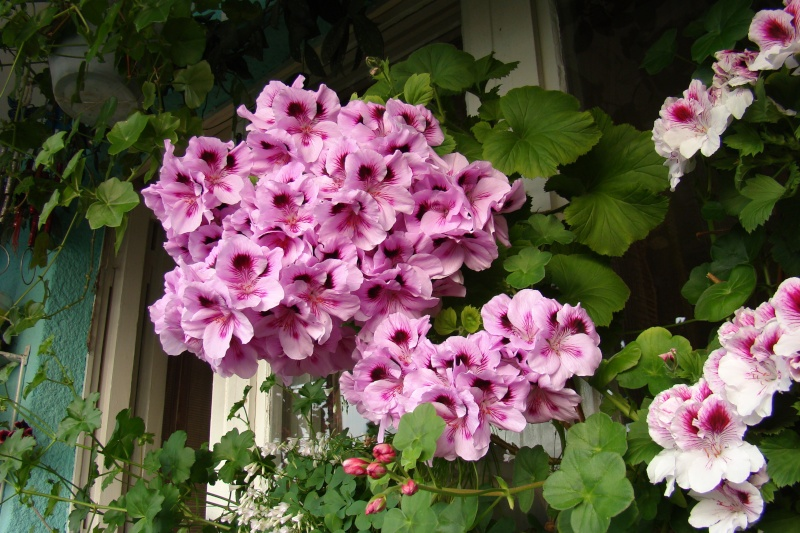 Flori de apartament-Îngrijire,înmulţire şi exponate Muscat12