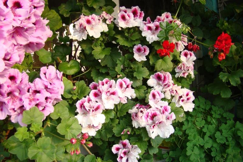 Flori de apartament-Îngrijire,înmulţire şi exponate Muscat13