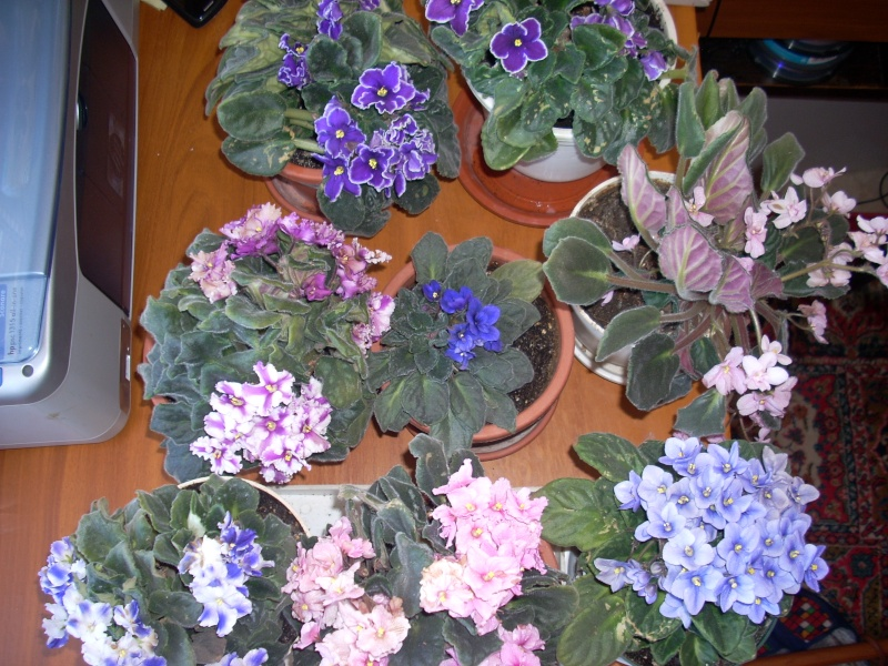 Flori de apartament-Îngrijire,înmulţire şi exponate Pasti_10