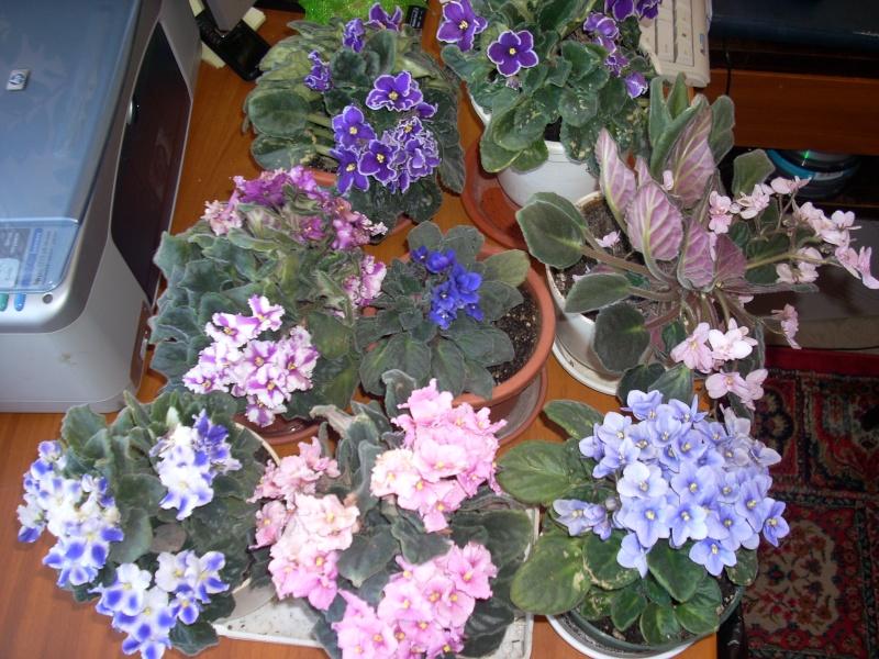Flori de apartament-Îngrijire,înmulţire şi exponate Pasti_11