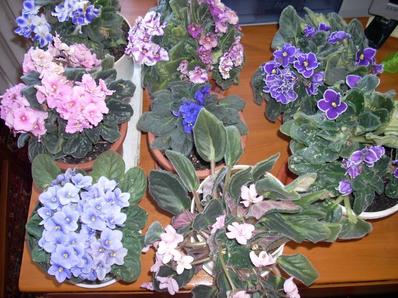 Flori de apartament-Îngrijire,înmulţire şi exponate Pasti_12