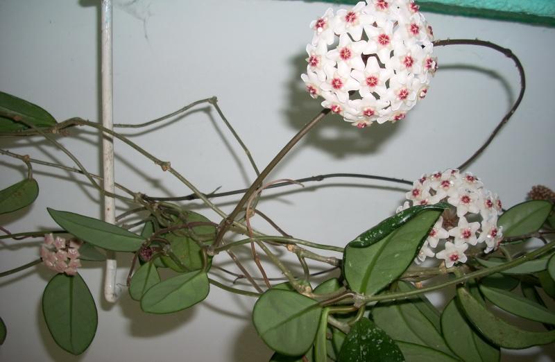 Flori de apartament-Îngrijire,înmulţire şi exponate Rasari10