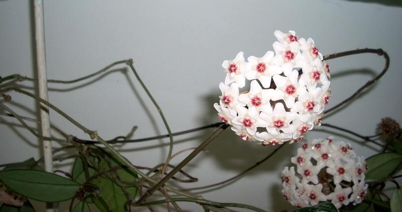 Flori de apartament-Îngrijire,înmulţire şi exponate Rasari11