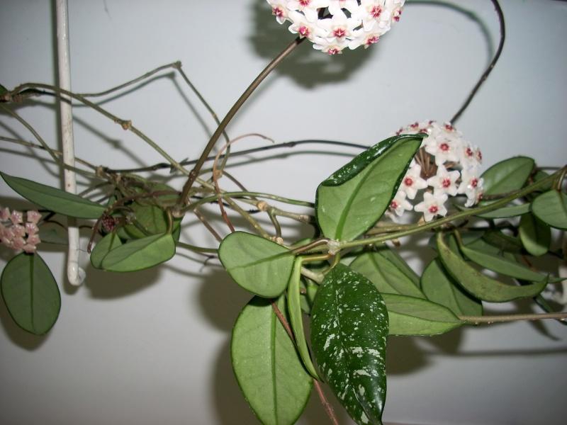 Flori de apartament-Îngrijire,înmulţire şi exponate Rasari12