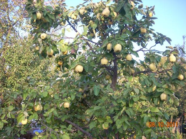Dulceţuri tradiţionale, siropuri, gemuri, compot pt.iarna şi fructe confiate. Rustic10