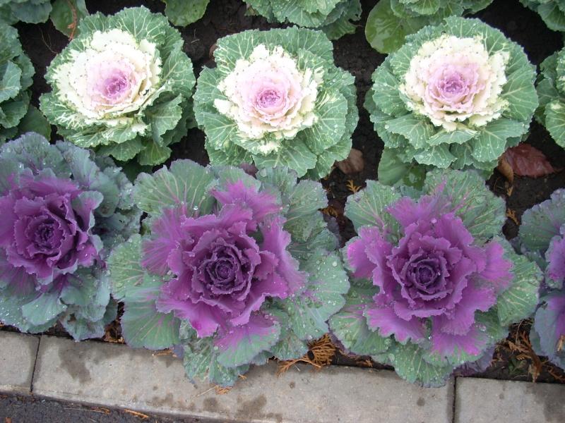 Expoziţia Flori de Toamnă-Iasi -23 octombrie – 20 noiembrie 2011-a XXXV-a editie Verni127