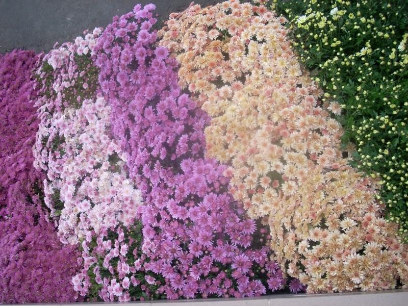 Expoziţia Flori de Toamnă-Iasi -23 octombrie – 20 noiembrie 2011-a XXXV-a editie Verni141