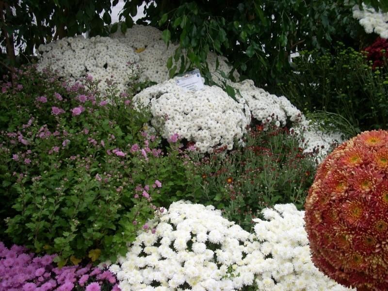 Expoziţia Flori de Toamnă-Iasi -23 octombrie – 20 noiembrie 2011-a XXXV-a editie Verni145