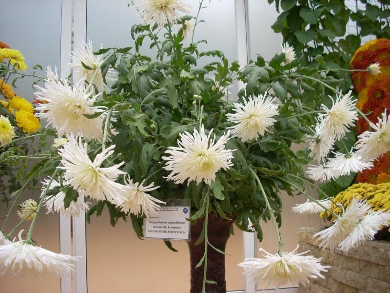 Expoziţia Flori de Toamnă-Iasi -23 octombrie – 20 noiembrie 2011-a XXXV-a editie Verni154
