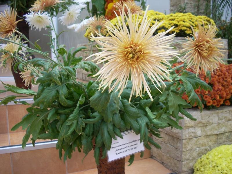 Expoziţia Flori de Toamnă-Iasi -23 octombrie – 20 noiembrie 2011-a XXXV-a editie Verni155
