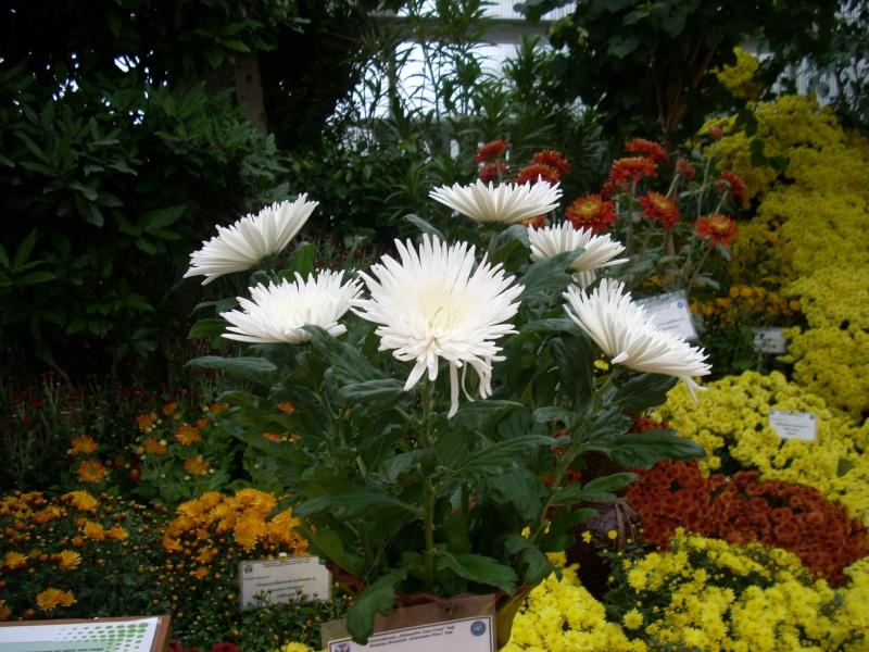 Expoziţia Flori de Toamnă-Iasi -23 octombrie – 20 noiembrie 2011-a XXXV-a editie Verni157