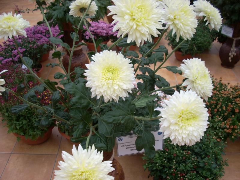 Expoziţia Flori de Toamnă-Iasi -23 octombrie – 20 noiembrie 2011-a XXXV-a editie Verni161