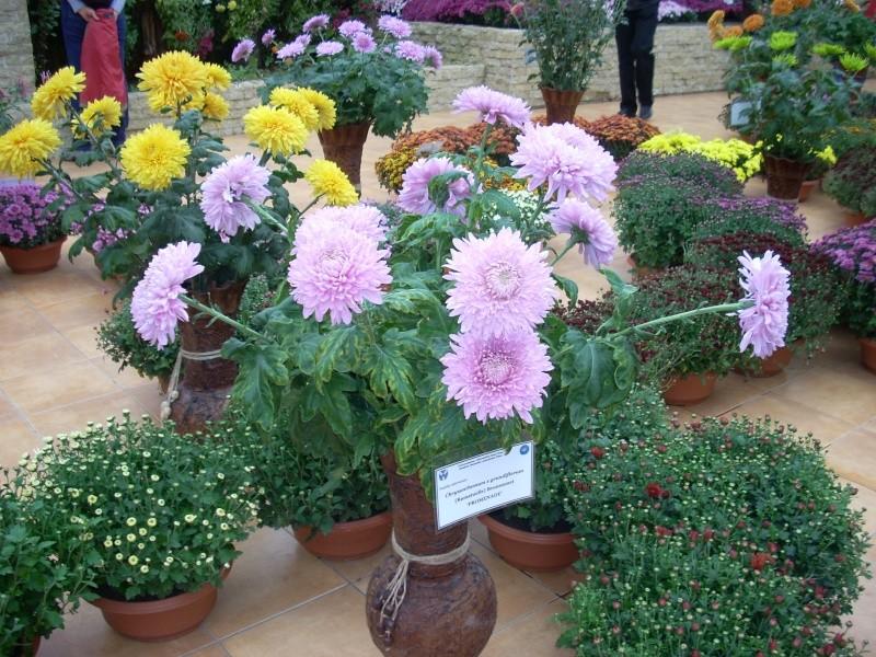 Expoziţia Flori de Toamnă-Iasi -23 octombrie – 20 noiembrie 2011-a XXXV-a editie Verni163