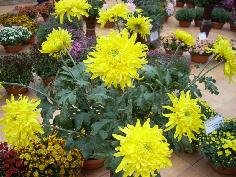 Expoziţia Flori de Toamnă-Iasi -23 octombrie – 20 noiembrie 2011-a XXXV-a editie Verni165