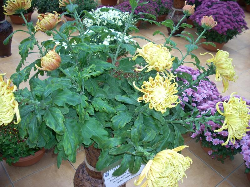 Expoziţia Flori de Toamnă-Iasi -23 octombrie – 20 noiembrie 2011-a XXXV-a editie Verni166