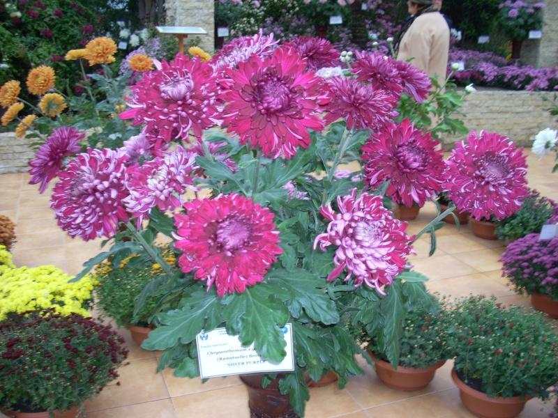 Expoziţia Flori de Toamnă-Iasi -23 octombrie – 20 noiembrie 2011-a XXXV-a editie Verni168