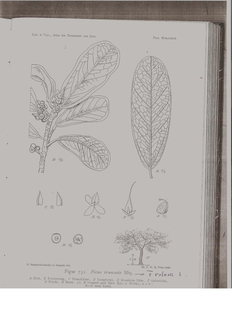 Ficus Taxonomy Puzzle Solved F_retu10