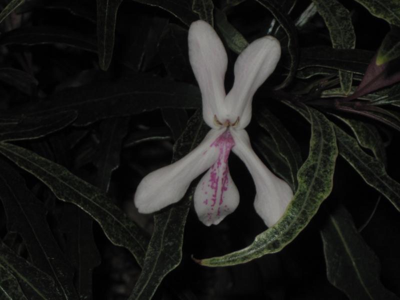 Pseuderanthemum sinuatum, correct name Hemigraphis repanda Img_0210