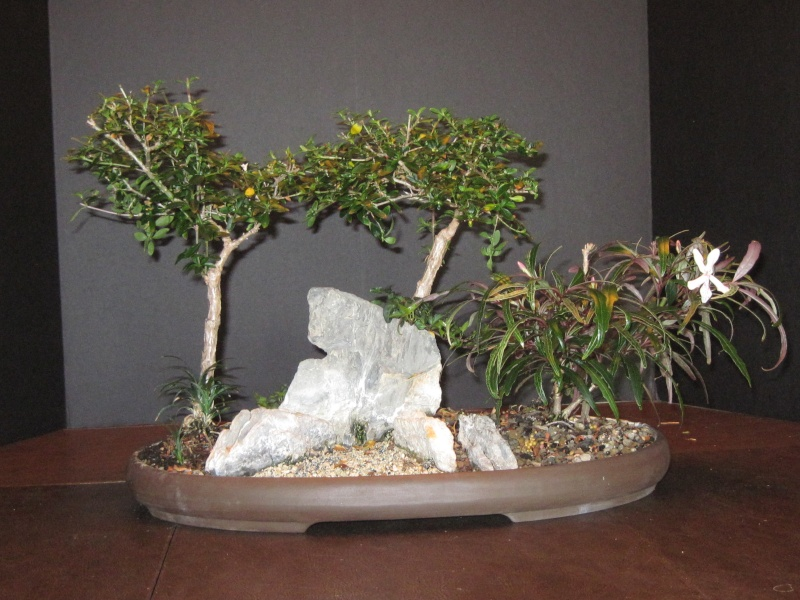 Pseuderanthemum sinuatum, correct name Hemigraphis repanda Saikei10